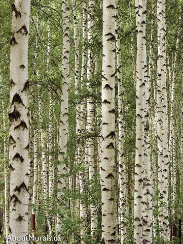 Green and white Birch Tree Forest wall mural