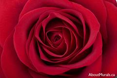 A flower wall mural with a close up shot of a red rose