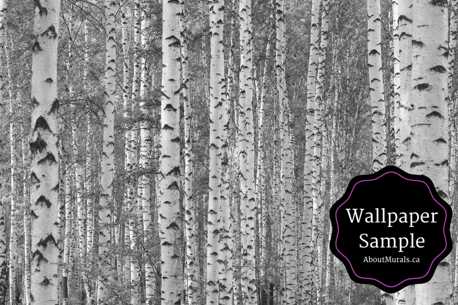 Wallpaper Samples Available Of This Black And White Birch Tree From AboutMuralsca