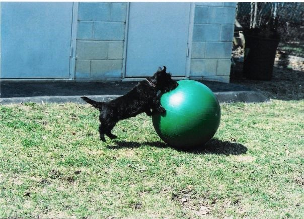 A photo of a dog pushing an exercise ball is used as inspiration for a garden mural by Adrienne of AboutMurals.ca